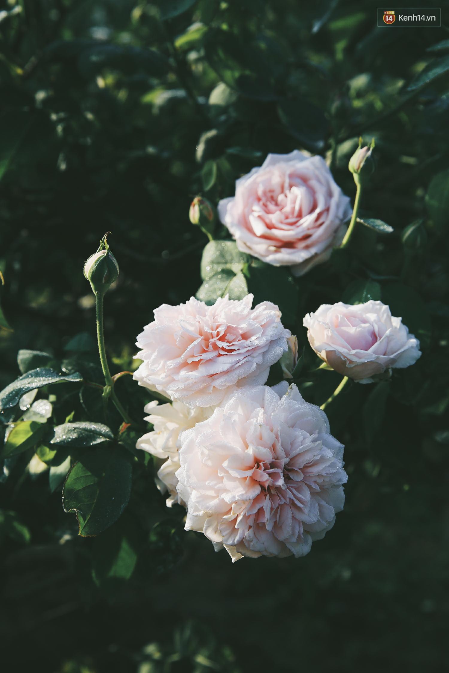 Cô gái trẻ sở hữu khu vườn 5.000m2 với hàng nghìn hoa hồng quý hiếm, đắt đỏ tại Hà Nội - Ảnh 6.