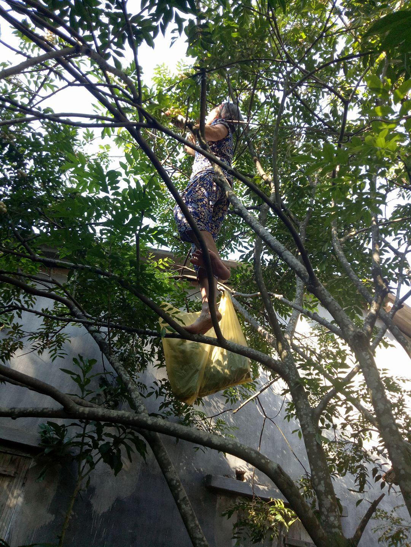 Hình ảnh xúc động: Sợ cháu vất vả, bà ngoại 75 tuổi một mình trèo cây thu hoạch quả - Ảnh 1.