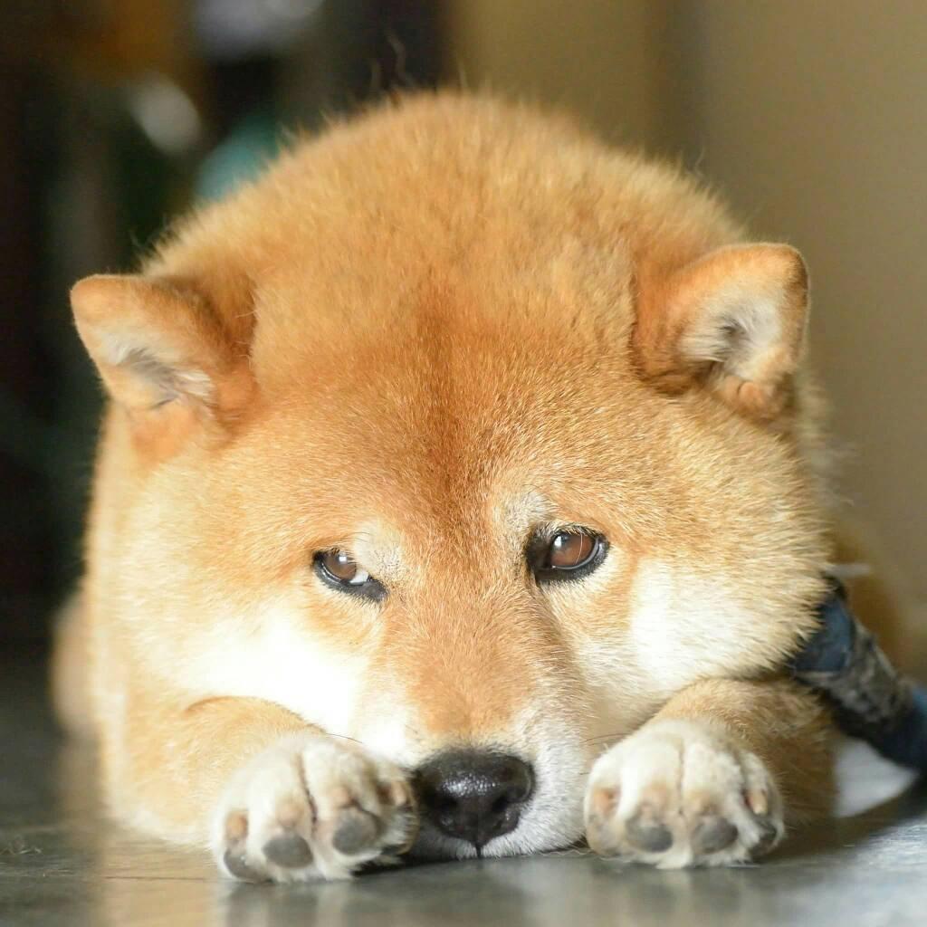 Chú chó Shiba Inu đẹp trai, vui tính được mệnh danh thánh biểu cảm của Nhật Bản - Ảnh 7.