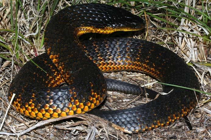 Loài rắn này sở hữu loại độc tố mạnh đến mức 10 triệu năm không cần tiến hóa - Ảnh 1.