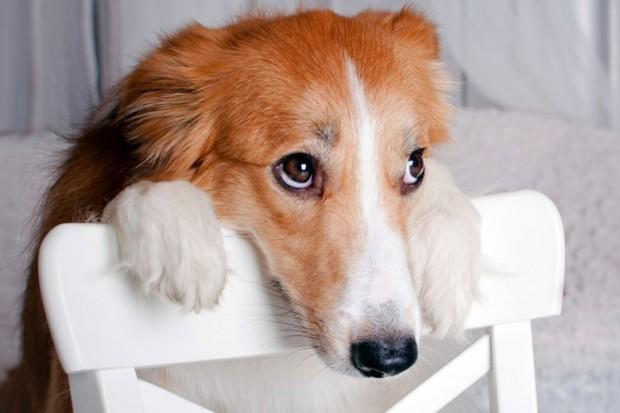 Đây là lý do chó nhà bạn chưng ra bộ mặt này sau mỗi lần phá phách - Ảnh 2.
