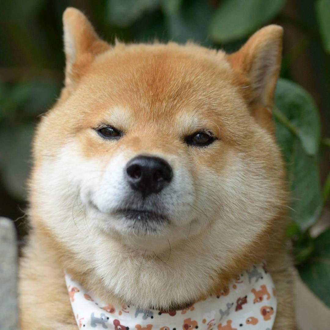 Chú chó Shiba Inu đẹp trai, vui tính được mệnh danh thánh biểu cảm của Nhật Bản - Ảnh 9.