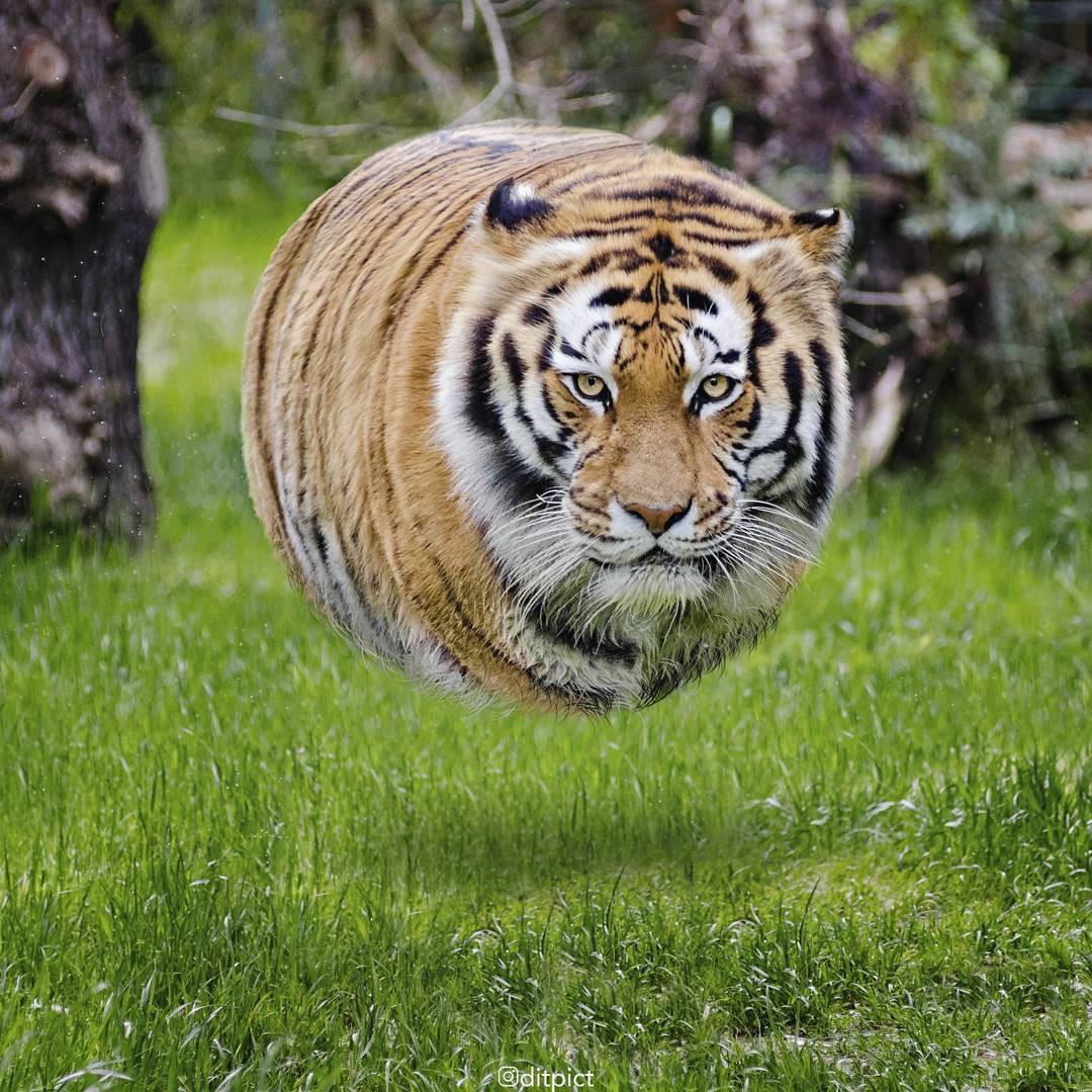 Bộ ảnh Photoshop các loài động vật trở nên tròn vo như bóng bay - Ảnh 13.