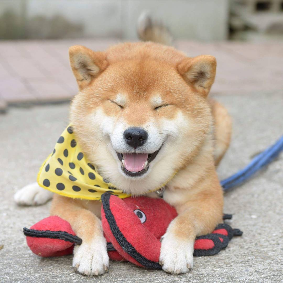 Chú chó Shiba Inu đẹp trai, vui tính được mệnh danh thánh biểu cảm của Nhật Bản - Ảnh 6.