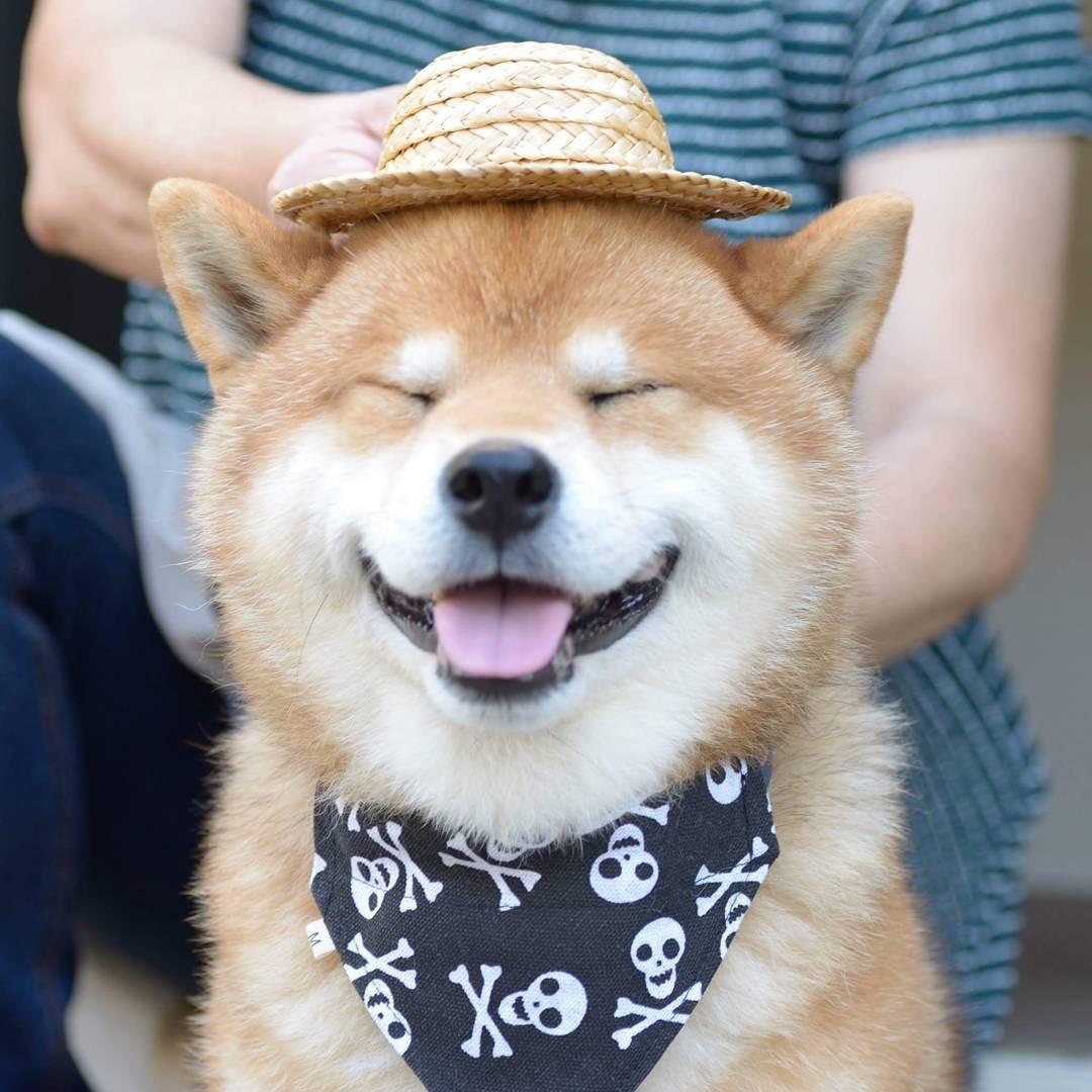 Chú chó Shiba Inu đẹp trai, vui tính được mệnh danh thánh biểu cảm của