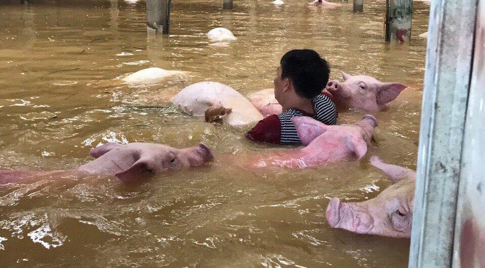 Đau lòng hình ảnh hàng ngàn con lợn chăn nuôi chết trong nước lũ ở Thanh Hóa
