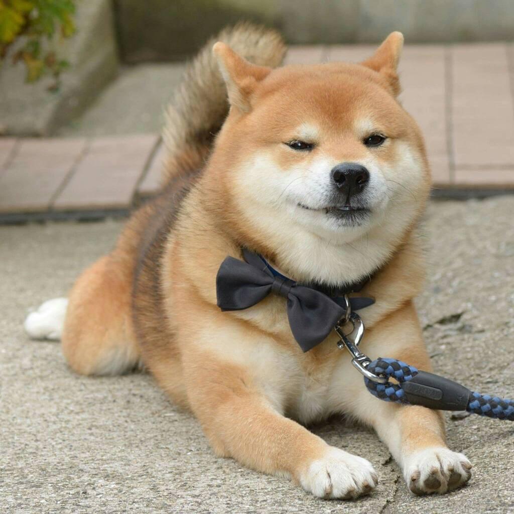 Chú chó Shiba Inu đẹp trai, vui tính được mệnh danh thánh biểu cảm của Nhật Bản - Ảnh 5.