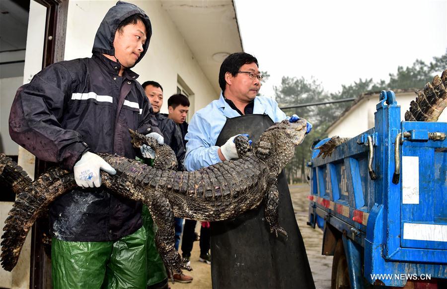Trung Quốc: Hơn 13.000 nhóc tì cá sấu đang ngủ đông thì bị bắt đi tắm nắng - Ảnh 4.