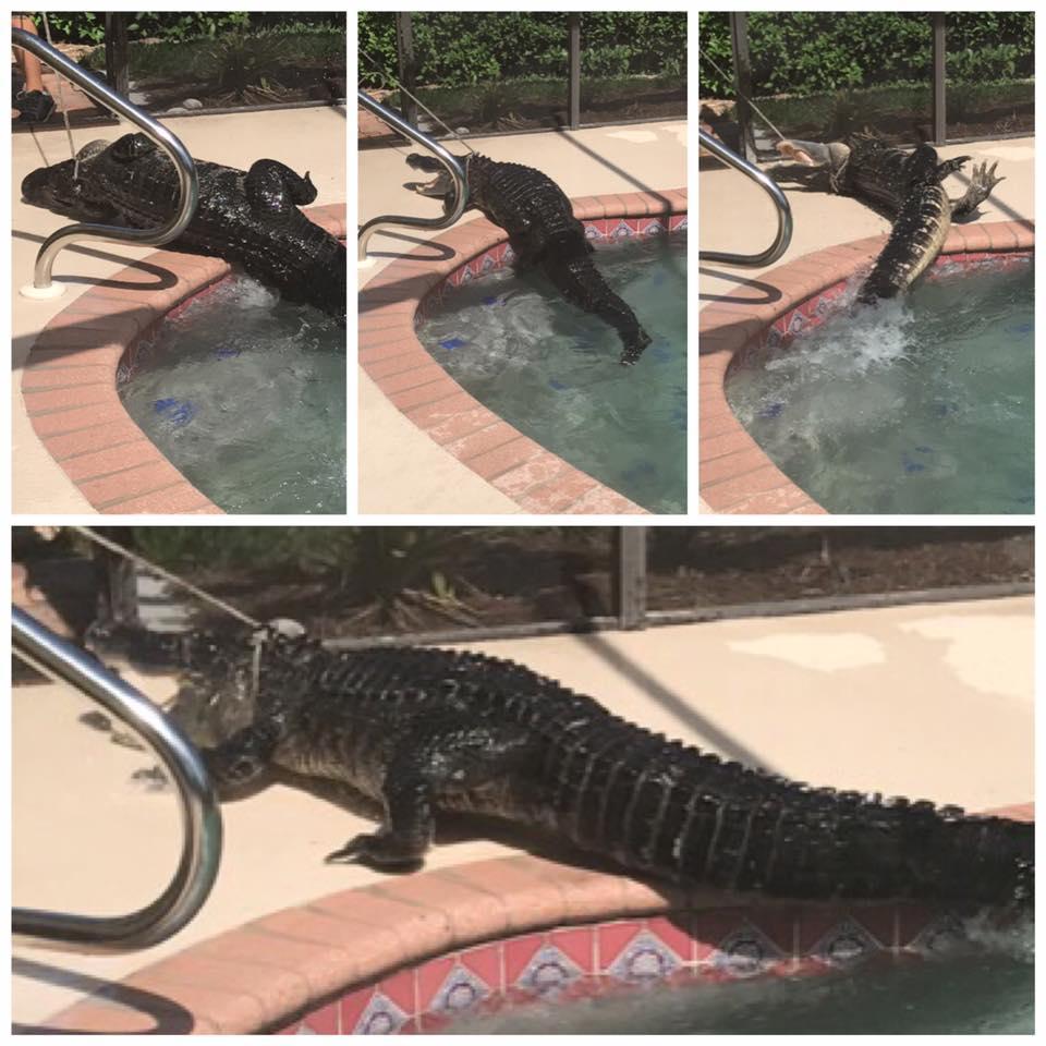 Gia đình hoảng hồn khi phát hiện cá sấu dài hơn 2m nằm chình ình giữa bể bơi - Ảnh 4.