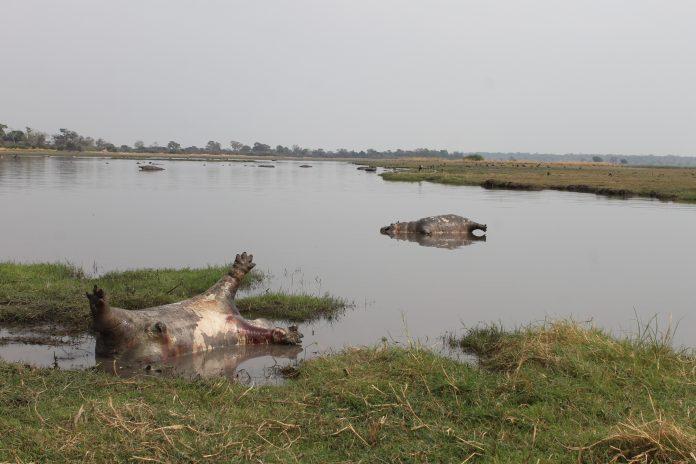Hơn 100 con hà mã đồng loạt rủ nhau chết ngã ngửa trên đầm lầy, nguyên nhân vẫn chưa rõ - Ảnh 1.
