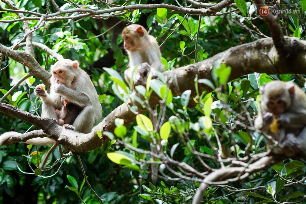 Chùm ảnh: Chuyện về đàn khỉ đuôi dài nương náu trong ngôi chùa ở Vũng Tàu, sống nhờ thức ăn của du khách - Ảnh 3.