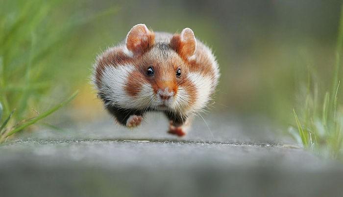 Cuộc sống hưởng thụ của 15 chú chuột hamster sống ở ngoài thế giới tự nhiên - Ảnh 17.