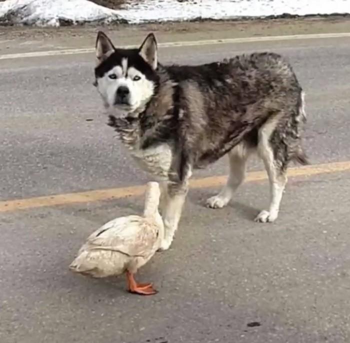 Chó và vịt tưởng chừng như không thể thân nhưng đôi bạn này lại thân không tưởng - Ảnh 4.