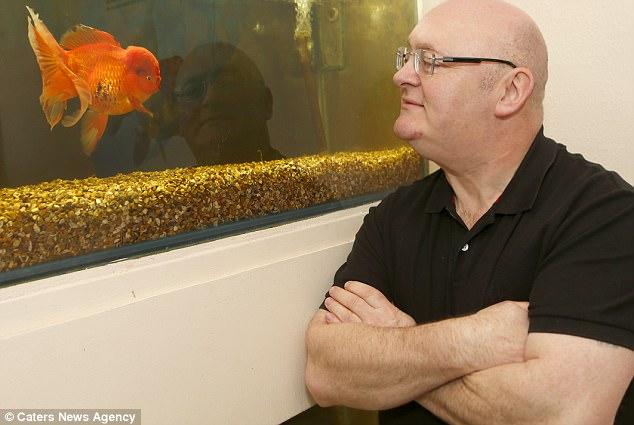 Tìm thấy siêu cá vàng khổng lồ có cân nặng lên tới 1,2kg - Ảnh 3.