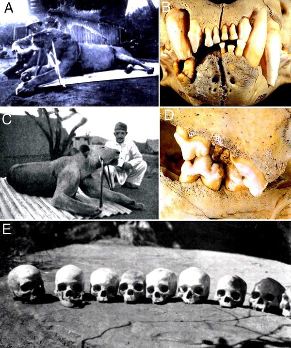 Bí ẩn quái vật ăn thịt người cuồng sát ở Tsavo cuối cùng cũng được giải mã - Ảnh 2.