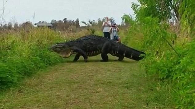 Trần đời có con cá sấu to như khủng long, lại còn đi thong dong khắp nơi như này - Ảnh 2.