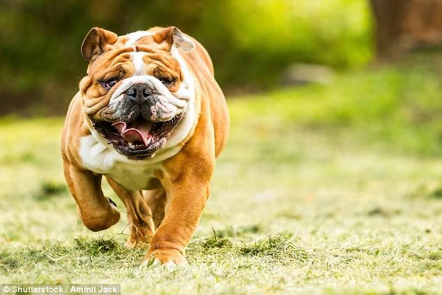Hộp sọ bị biến dạng và thảm họa giải phẫu của loài chó pug chỉ vì con người - Ảnh 3.