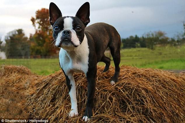 Hộp sọ bị biến dạng và thảm họa giải phẫu của loài chó pug chỉ vì con người - Ảnh 6.