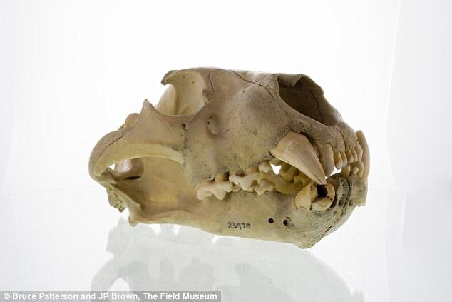 Bí ẩn quái vật ăn thịt người cuồng sát ở Tsavo cuối cùng cũng được giải mã - Ảnh 3.