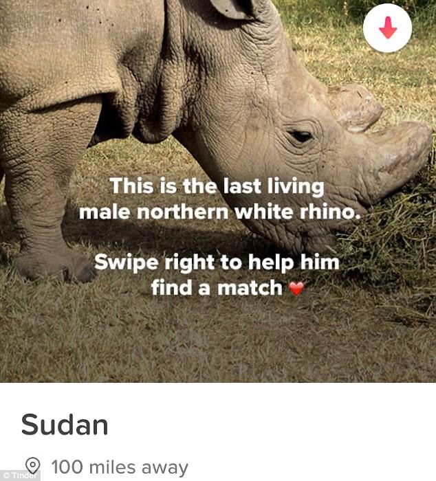 Thế nào là tuyệt chủng? Chú tê giác trắng cuối cùng trên Trái đất sẽ giúp bạn hiểu điều đó - Ảnh 2.