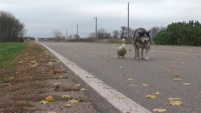 Chó và vịt tưởng chừng như không thể thân nhưng đôi bạn này lại thân không tưởng - Ảnh 5.