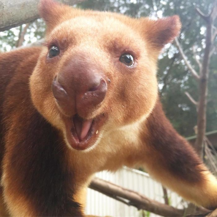 Hóa ra Úc còn có loài chuột túi ôm cây đáng yêu dã man - Ảnh 7.
