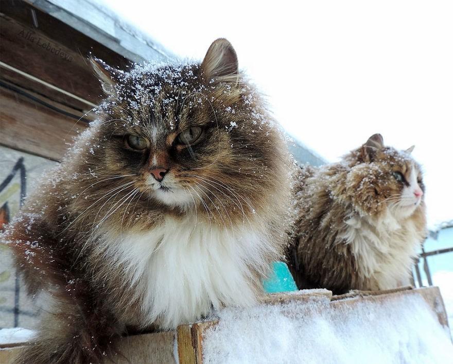 Đàn mèo Siberia xâm chiếm khu vườn của người nông dân, thế nhưng ý đồ của chúng vô tình trở thành việc tốt - Ảnh 5.