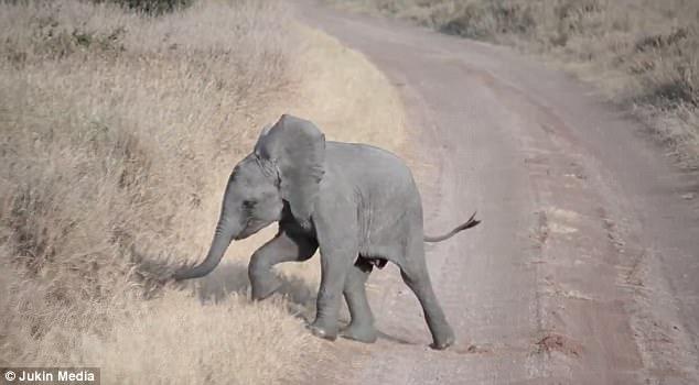 Chú voi con bày trò nằm giãy giụa giữa đường để ăn vạ bố mẹ - Ảnh 4.