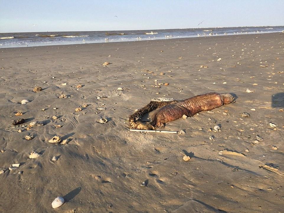 Sinh vật biển không mắt bí ẩn dạt vào bờ biển Texas sau cơn bão Harvey - Ảnh 3.