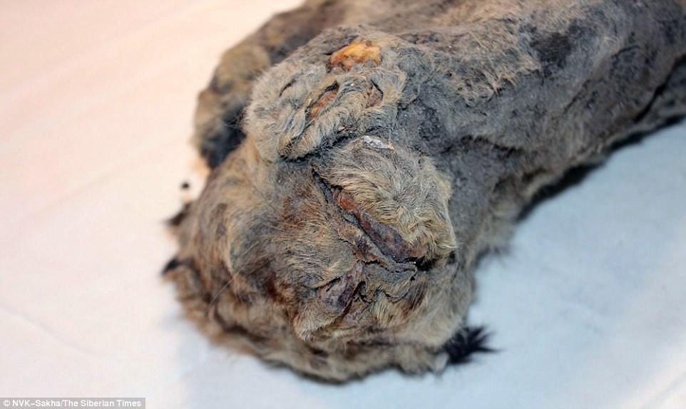 Hồi sinh xác ướp sư tử 50.000 năm tuổi bằng thí nghiệm kiểu Công viên kỷ Jura - Ảnh 3.