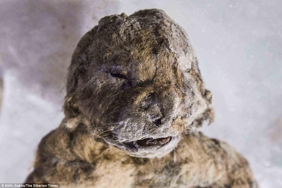 Hồi sinh xác ướp sư tử 50.000 năm tuổi bằng thí nghiệm kiểu Công viên kỷ Jura - Ảnh 2.