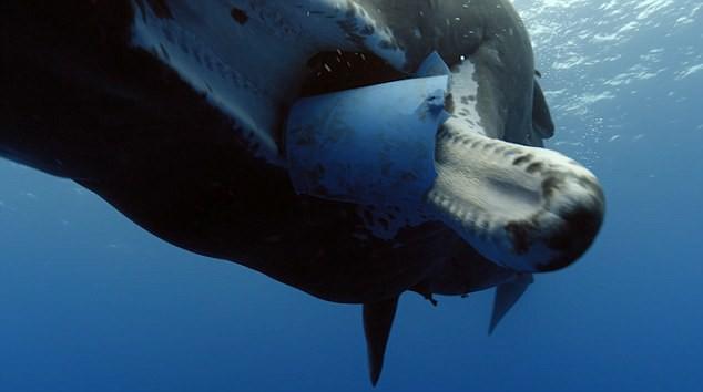 Tưởng chú cá voi bị đột biến, nhưng hóa ra là lời cảnh tỉnh đáng sợ với con người về môi trường biển - Ảnh 2.