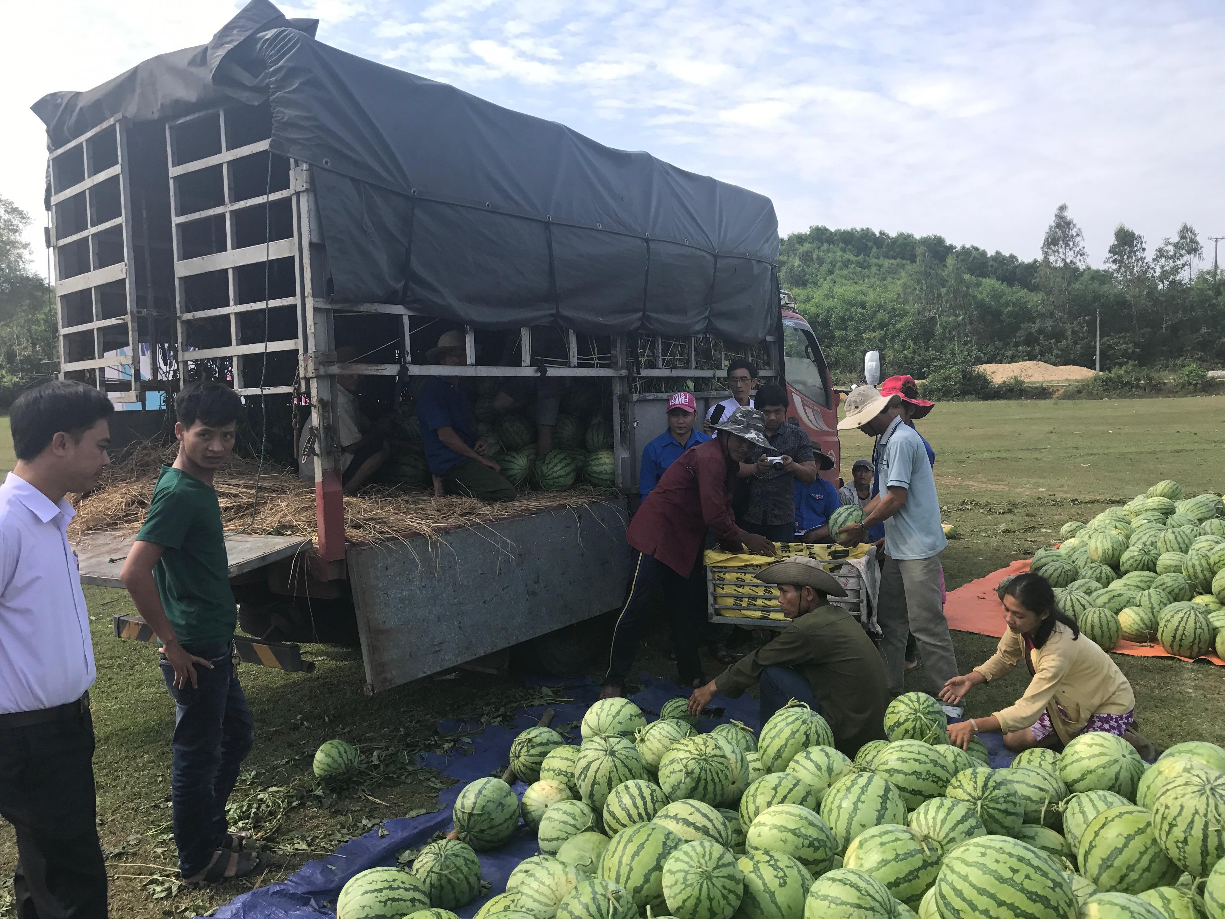 Nông dân Quảng Ngãi phải đem dưa hấu đổ cho bò ăn: Cần lắm sự