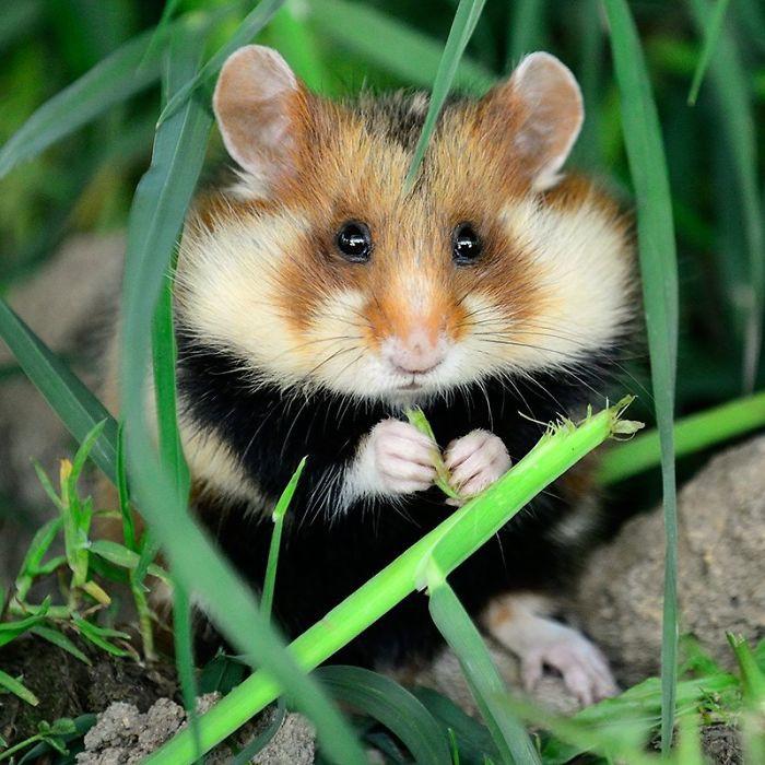 Cuộc sống hưởng thụ của 15 chú chuột hamster sống ở ngoài thế giới tự nhiên - Ảnh 21.