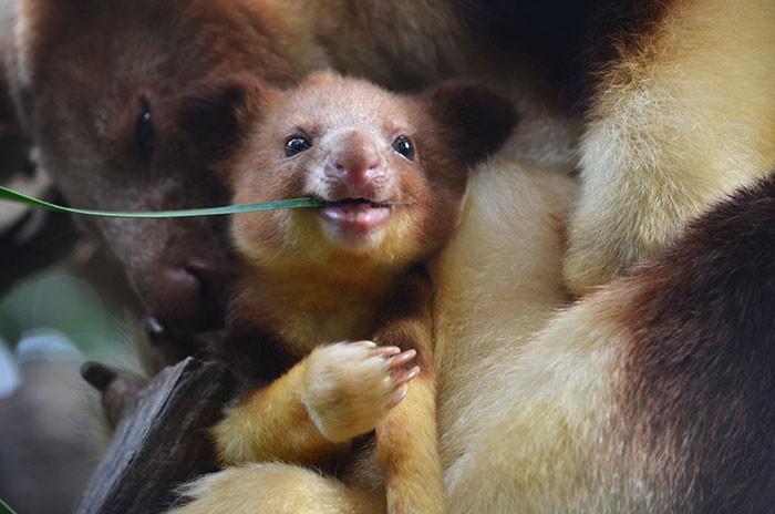 Hóa ra Úc còn có loài chuột túi ôm cây đáng yêu dã man - Ảnh 9.