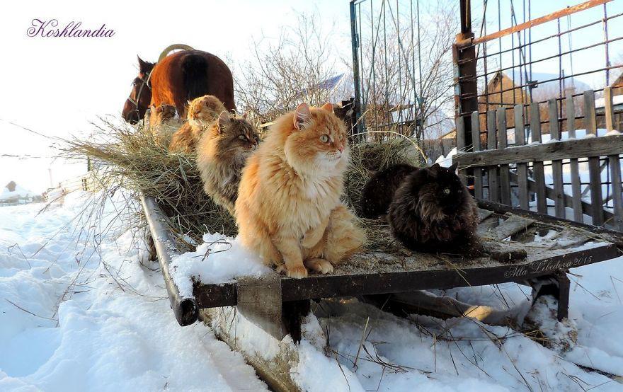 Đàn mèo Siberia xâm chiếm khu vườn của người nông dân, thế nhưng ý đồ của chúng vô tình trở thành việc tốt - Ảnh 3.