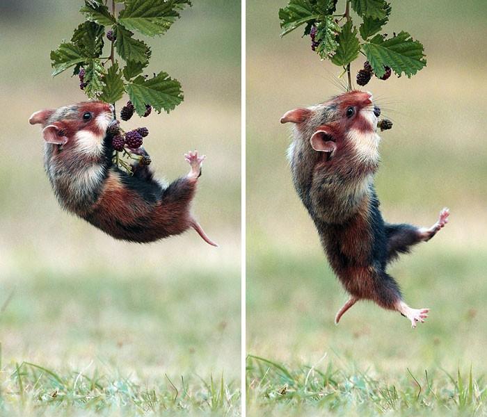 Cuộc sống hưởng thụ của 15 chú chuột hamster sống ở ngoài thế giới tự nhiên - Ảnh 23.