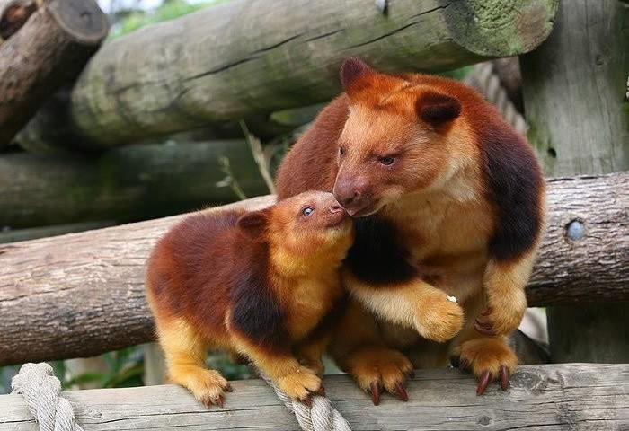 Hóa ra Úc còn có loài chuột túi ôm cây đáng yêu dã man - Ảnh 11.