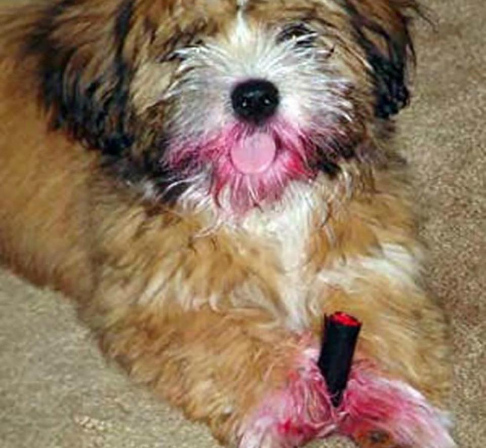 Bản mặt câng câng của 14 chú chó sau khi bị bắt quả tang bôi son trát phấn trộm của chủ - Ảnh 11.