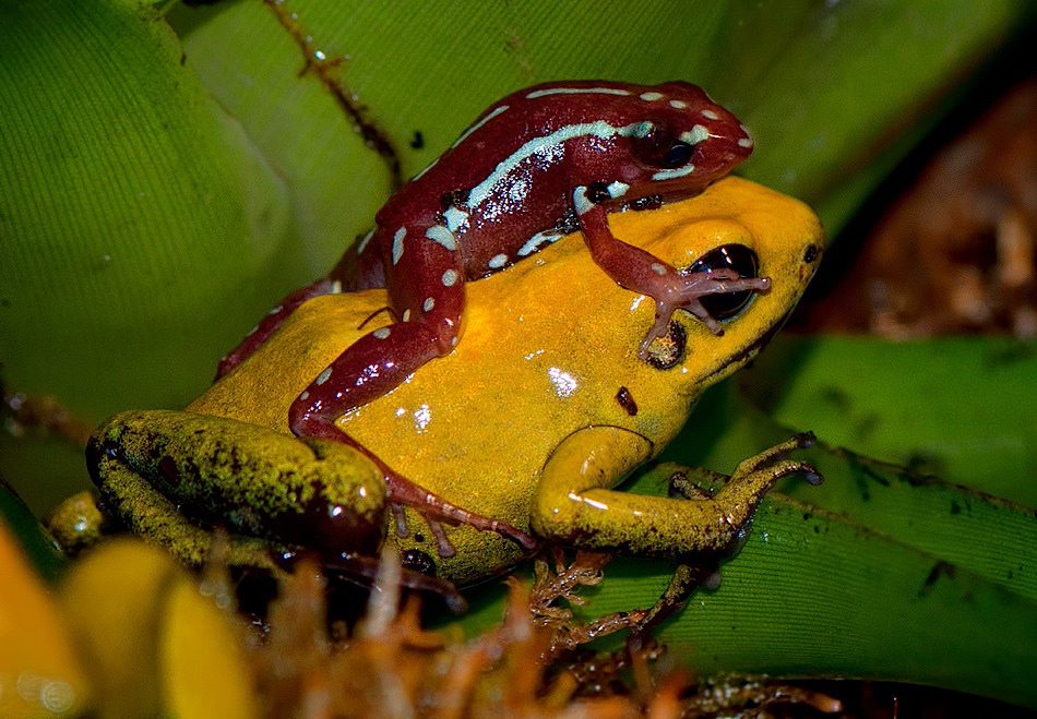 Con ếch độc bậc nhất thế giới và bí ẩn đằng sau nó cuối cùng đã được khoa học giải đáp - Ảnh 2.