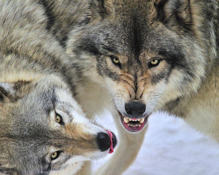 Sự thật đằng sau bức ảnh đàn sói đầy nhân văn đang gây bão cộng đồng mạng - Ảnh 3.