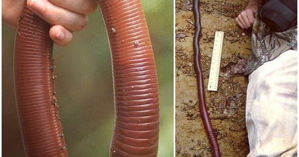 Mưa lớn ở Úc làm lộ diện loài giun đất khổng lồ ai xem qua cũng ngỡ là rắn - Ảnh 2.