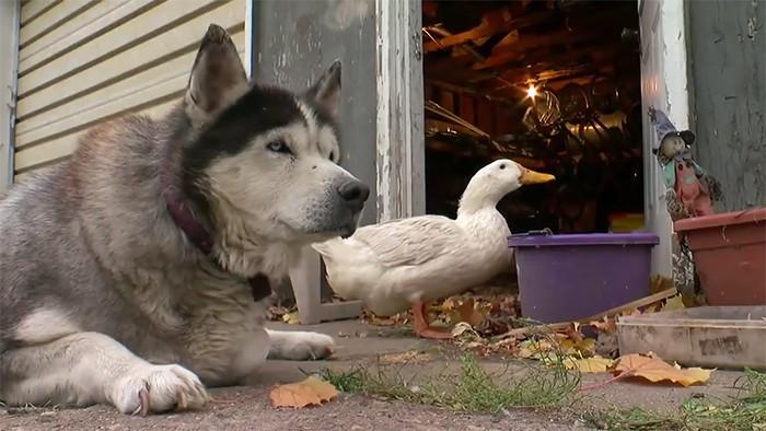 Chó và vịt tưởng chừng như không thể thân nhưng đôi bạn này lại thân không tưởng - Ảnh 7.
