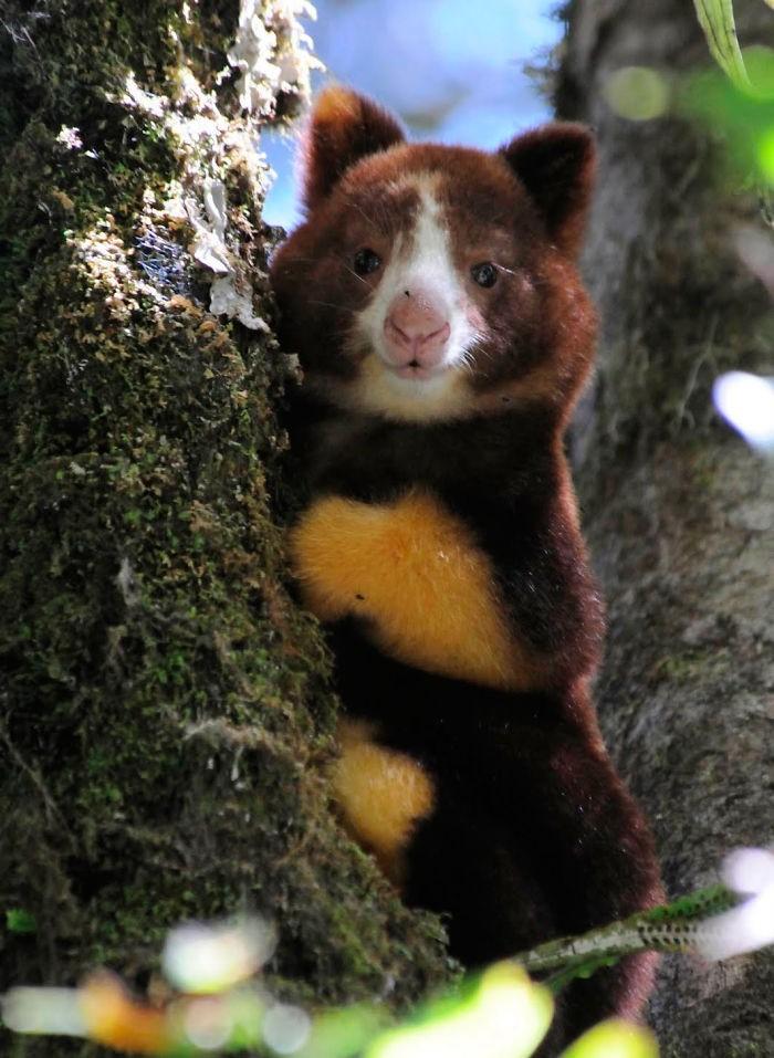 Hóa ra Úc còn có loài chuột túi ôm cây đáng yêu dã man - Ảnh 13.