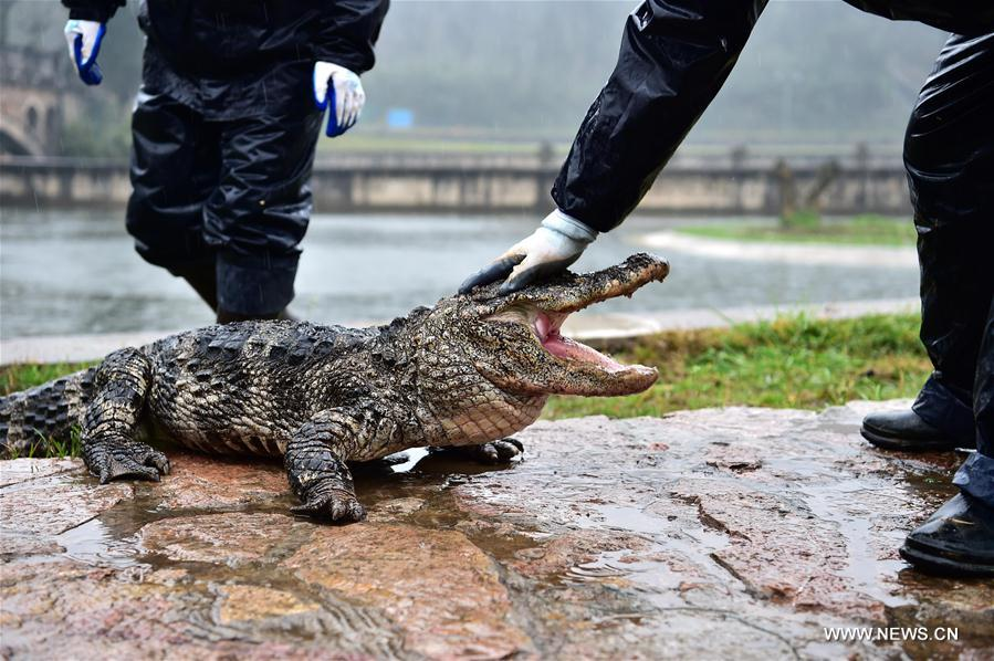 Trung Quốc: Hơn 13.000 nhóc tì cá sấu đang ngủ đông thì bị bắt đi tắm nắng - Ảnh 10.