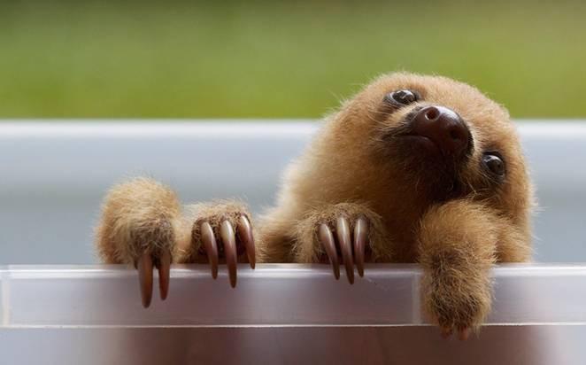 8 sự thật giúp bạn nhận ra con lười là sinh vật thú vị nhất quả đất - Ảnh 7.