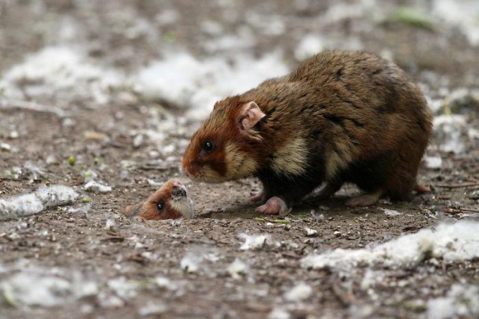 Cuộc sống hưởng thụ của 15 chú chuột hamster sống ở ngoài thế giới tự nhiên - Ảnh 29.