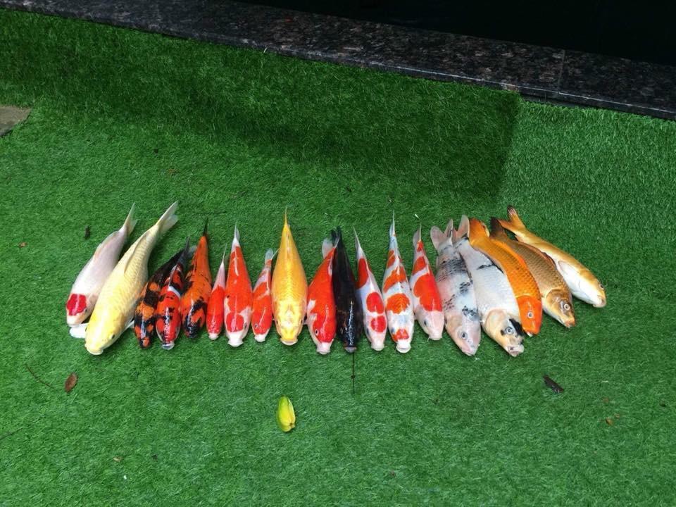 Chàng trai đem cá Koi đắt tiền đi kho tương khiến cộng đồng mạng ngơ ngác - Ảnh 2.