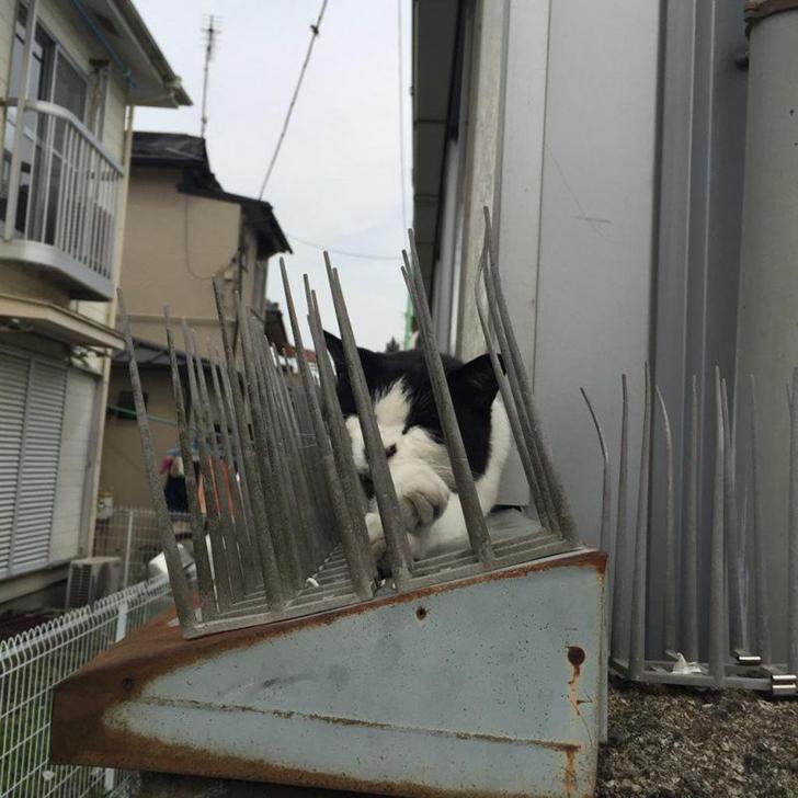 Người Nhật mua bẫy gai để ngăn mèo chạy nhảy lung tung, kết quả khiến ai cũng dở khóc dở cười - Ảnh 5.