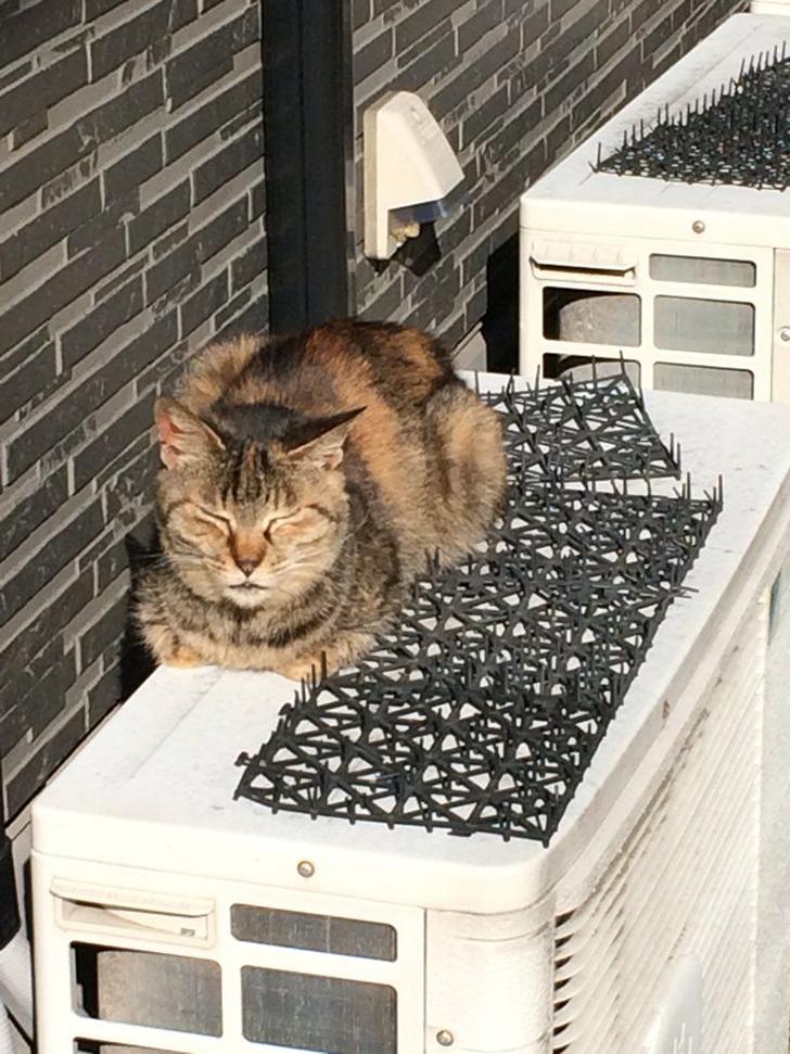Người Nhật mua bẫy gai để ngăn mèo chạy nhảy lung tung, kết quả khiến ai cũng dở khóc dở cười - Ảnh 9.